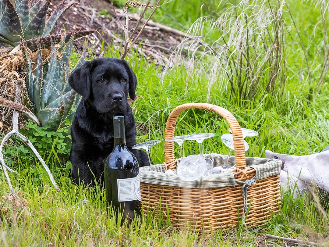 Lost Penny Wines - puppy in vineyard